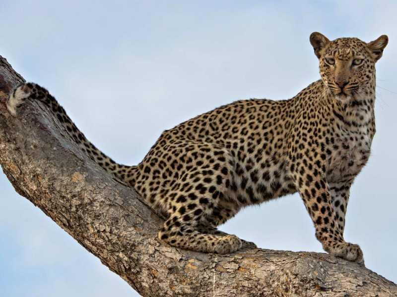 leopardtsakani01