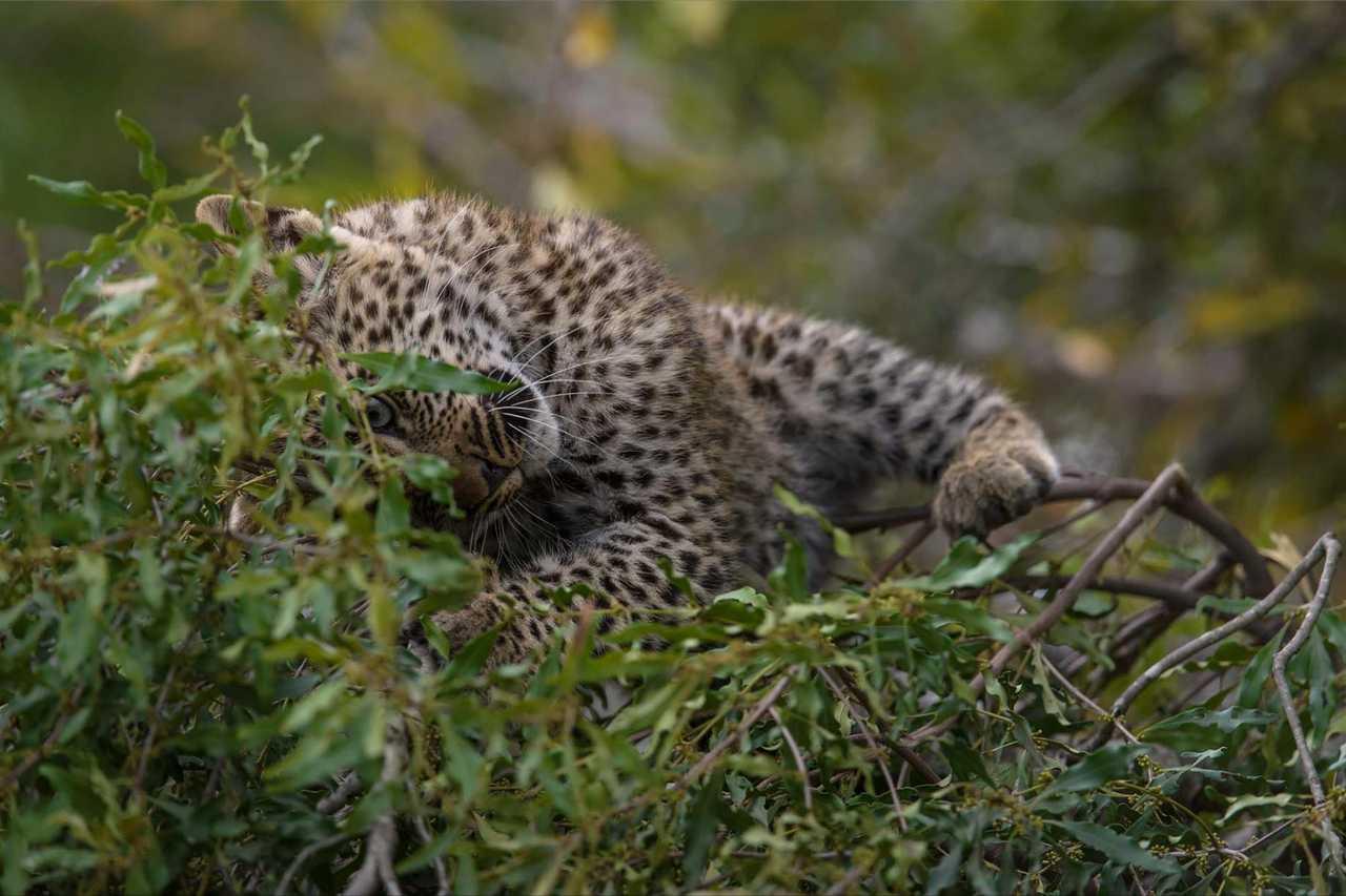 leopardtiyane