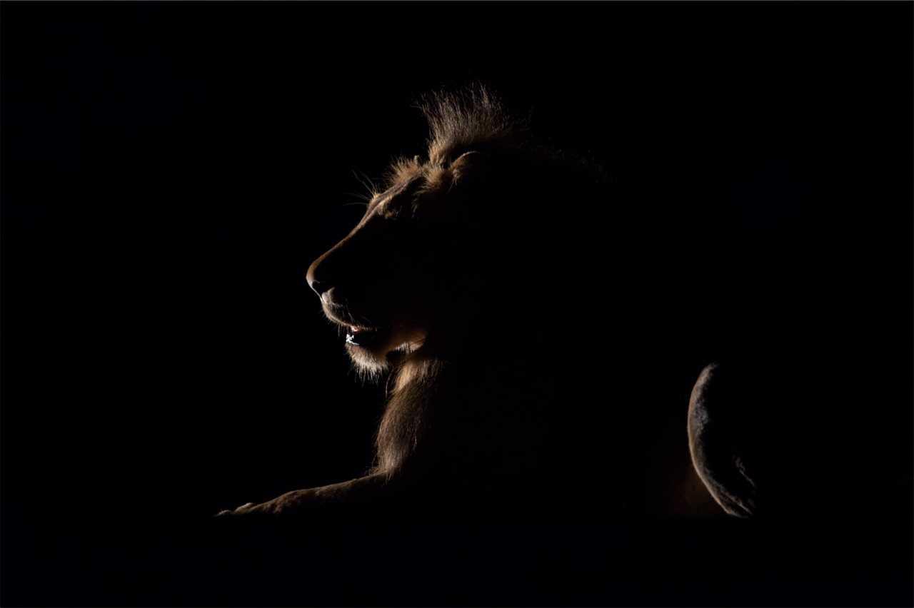 lion kuhuma